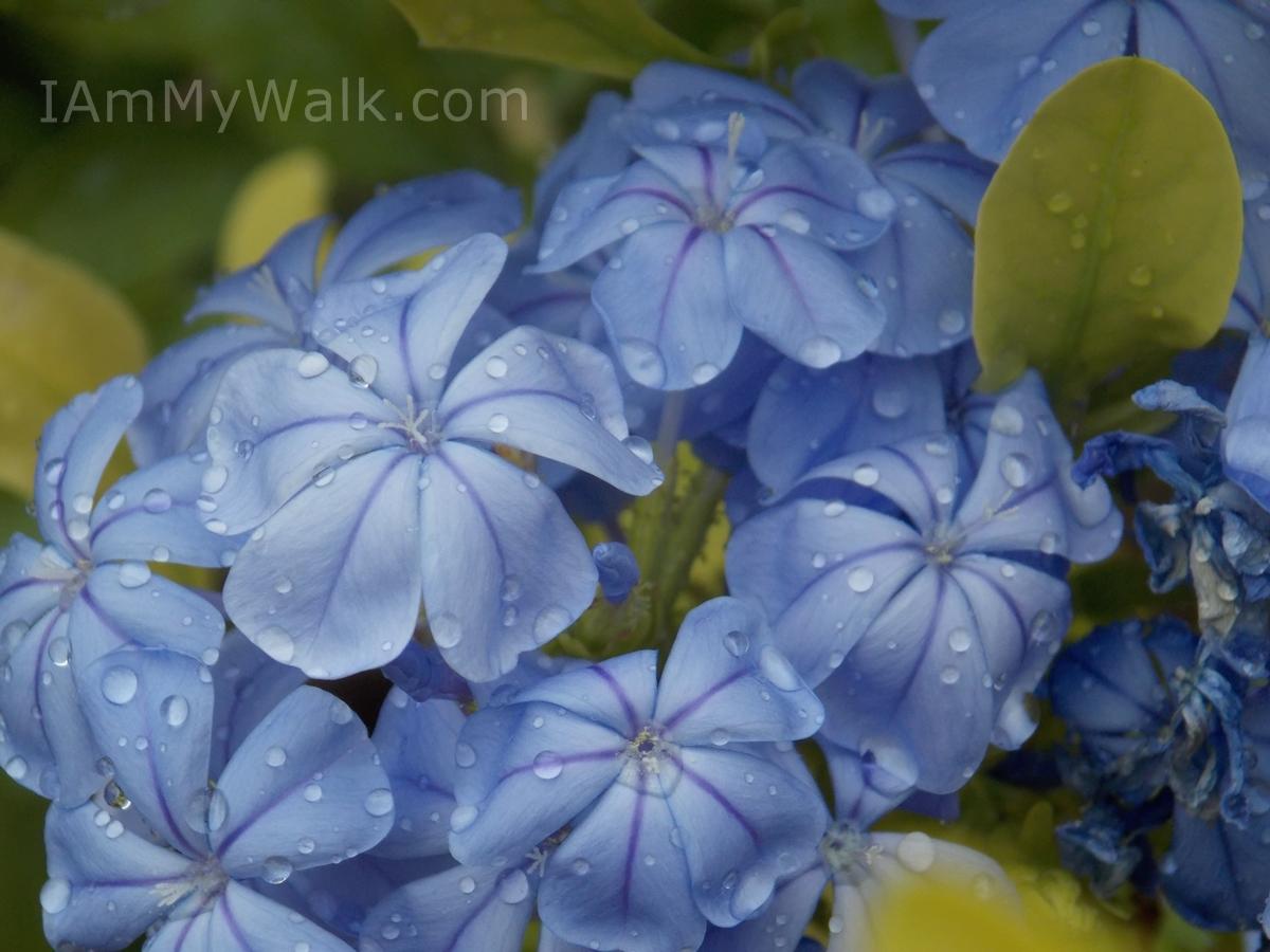 Flower Dew Drops